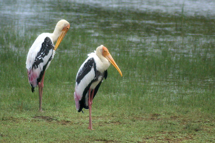 Sri Lankan Painted Stork