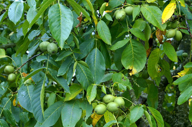 The dordogne river valley france travel guide - Growing french walnuts for a profit ...