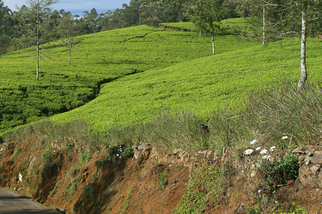 Ceylon Tea Plantations in Sri Lanka